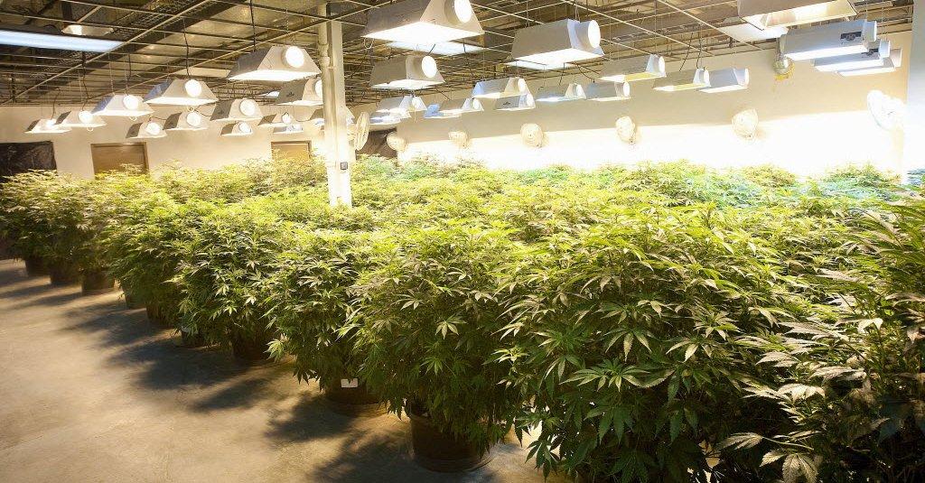Kalifornijska policja zniszczyła ponad 42 tys. roślin marihuany