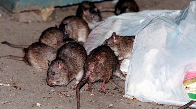 Suchy lód do walki z nowojorskimi szczurami