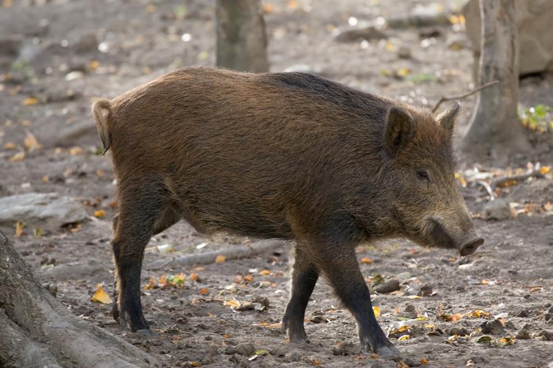 Zagrożenie afrykańskim pomorem świń – w całym kraju trwa liczenie dzików