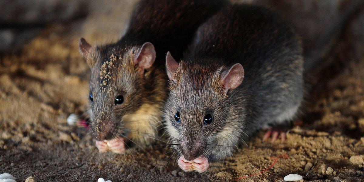Inwazja szczurów w Paryżu