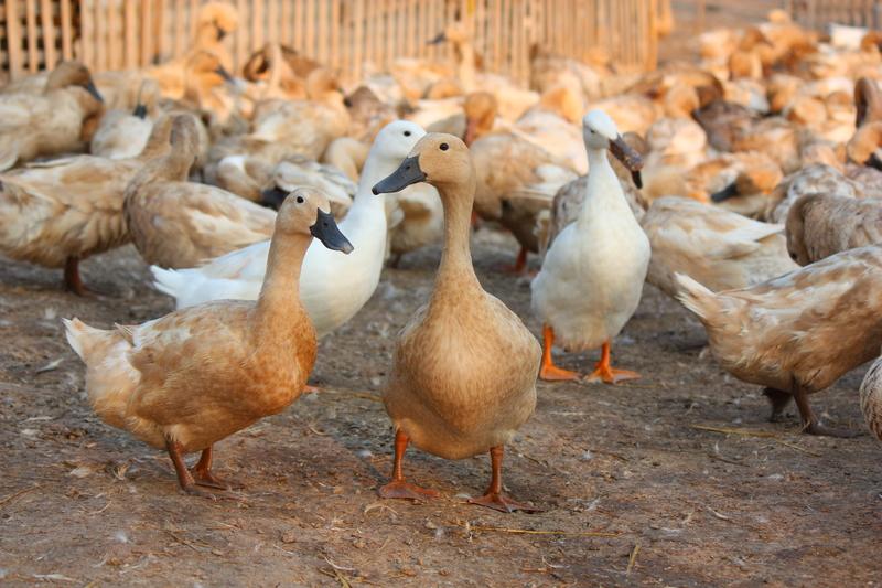 Miliony kaczek i gęsi we Francji do likwidacji