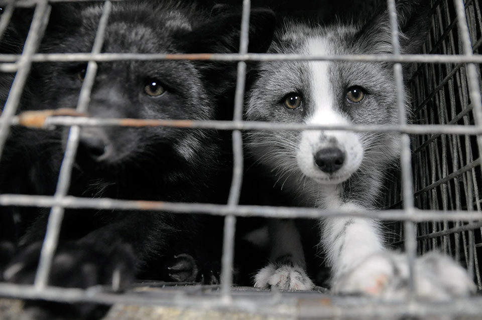 Hodujemy zwierzęta futerkowe dla innych krajów, bo tam jest to zabronione