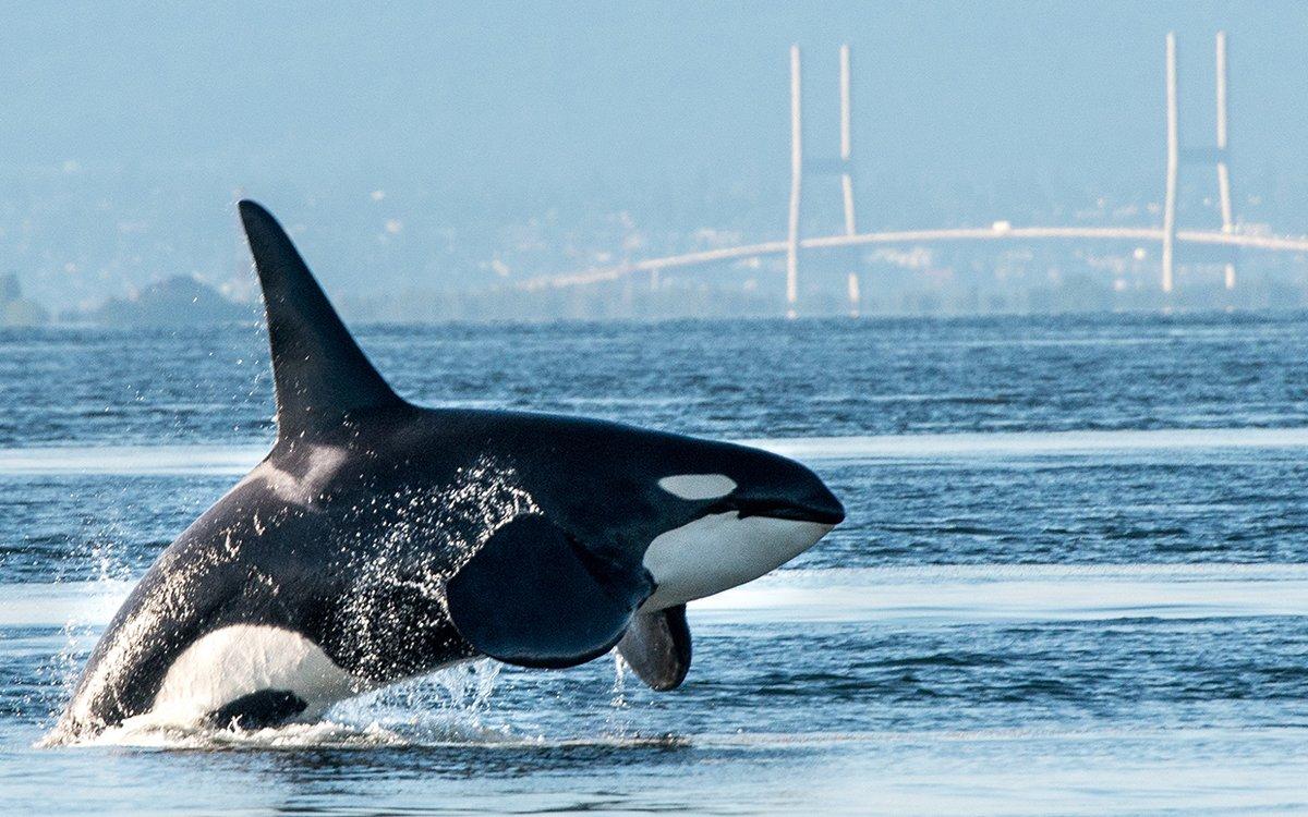 Narodziny orki w Pacific Northwest