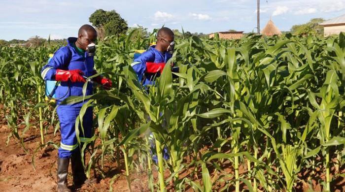 Inwazja gąsienic na polach uprawnych Afryki