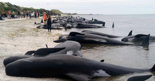 Nowa Zelandia – walka o życie setek wielorybów
