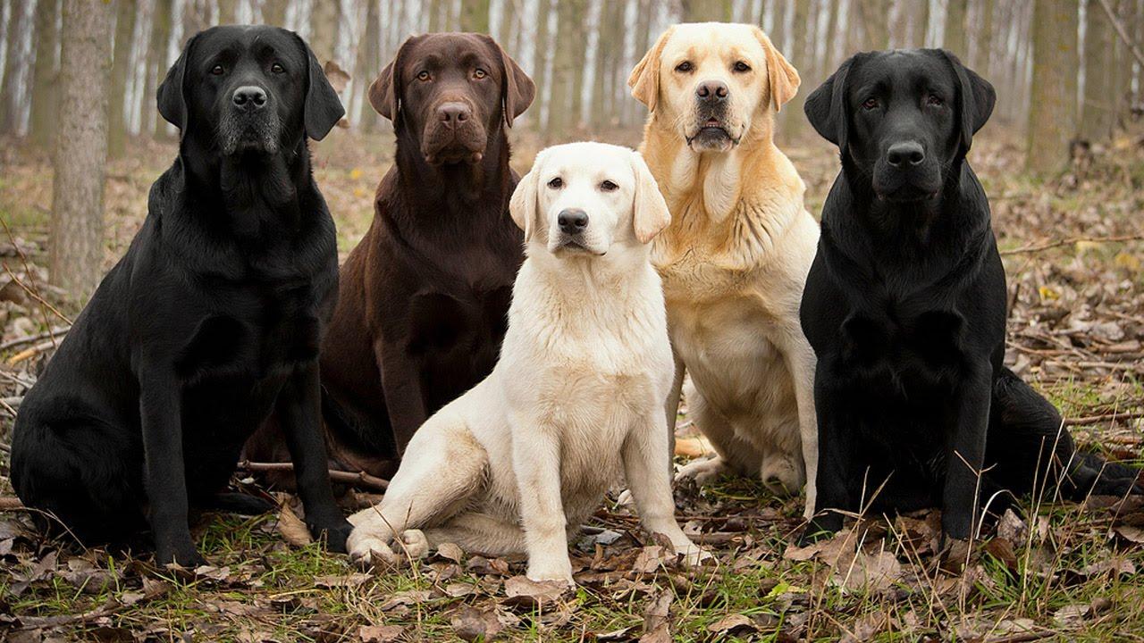 Labrador najpopularniejszą rasą psów w USA