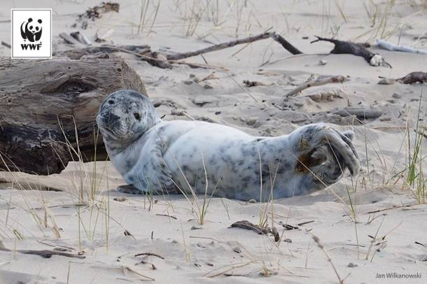 Kilkutygodniowe foki szare wrócą do morza