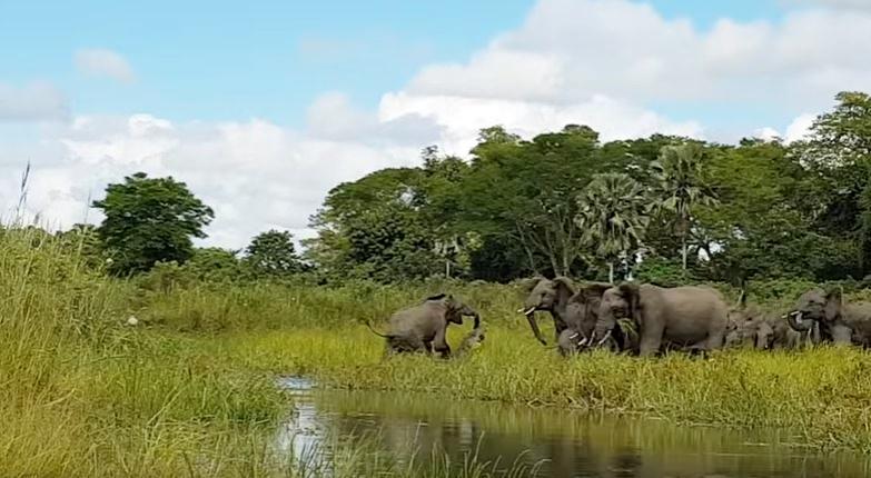 Krokodyl zaatakował słonia przy wodopoju (VIDEO)