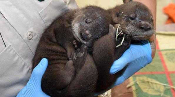 Narodziny bliźniąt wydry rzecznej w  Brookfield Zoo
