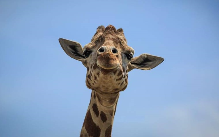 Wreszcie jest! Narodziny żyrafy w Animal Adventure Park (video)
