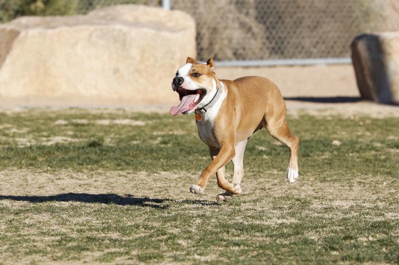 Trzy pitbule zagryzły psa i zaatakowały jego właściciela na ulicy w Los Angeles
