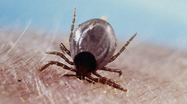 Coraz więcej chorób odkleszczowych