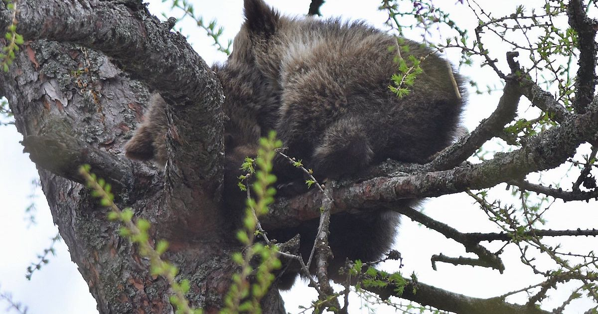 Tatrzańskie niedźwiedzie utknęły na… drzewie