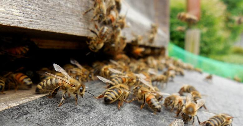 Rosyjscy pszczelarze: w Rosji masowo wymierają pszczoły