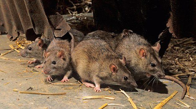 Krasnystaw: Zmarła samotnie w domu. Szczury odgryzły jej głowę