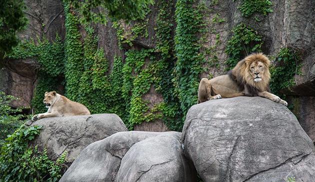 Mężczyzna w Lincoln Park Zoo próbował przedostać się do pawilonu z lwami