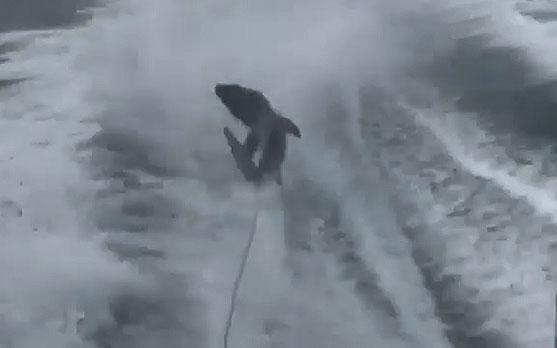 Ciągnęli rekina za motorówką. Oddalono zarzuty przeciwko jednemu z podejrzanych