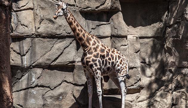 W Lincoln Park Zoo zmarła 28-letnia żyrafa Sabrena