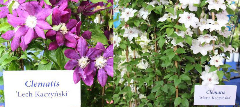 W Warszawie pokazano kwiaty o nazwie Lech i Maria Kaczyńscy