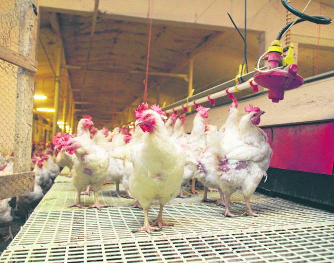 Skażone mięso i jaja w Wielkopolsce? Trwają kontrole