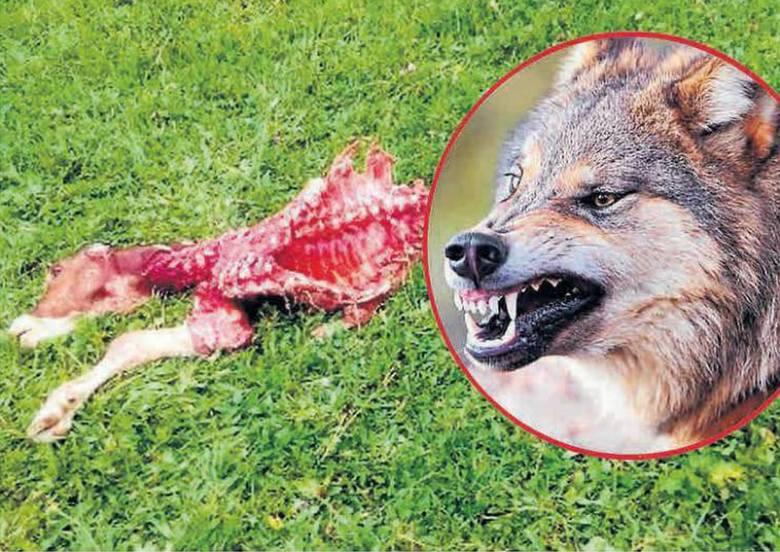 Wilki podchodzą pod domy. Atakują i rozszarpują krowy!