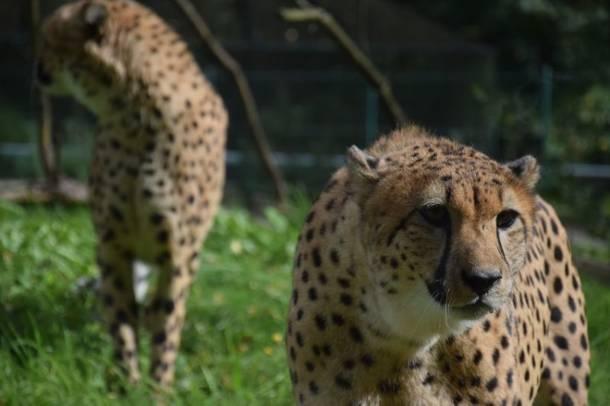 Gdańsk ma nowe gepardy