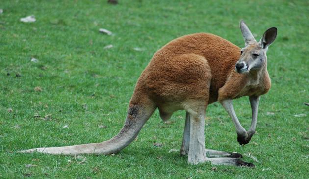 Drony szukały kangura na Florydzie. Ssaka odnaleziono po kilku dniach