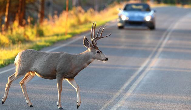 Kierowcy uwaga na…jelenie na drodze!