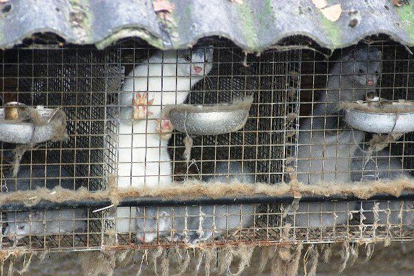 W Polsce może dojść do likwidacji ferm zwierząt futerkowych. Przedstawiciele tej gałęzi przemysłu są oburzeni