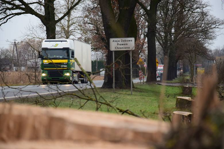 Inowrocław: Pomniki przyrody skazane na ścięcie. Przez obwodnicę