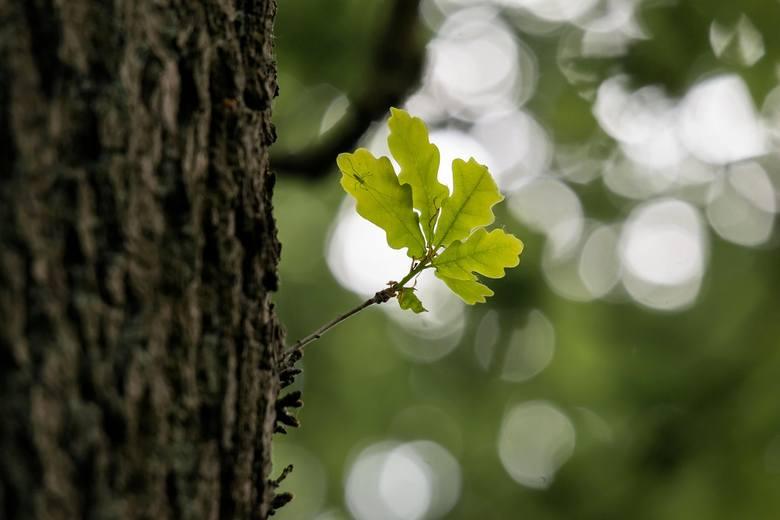 Legendarny Dąb Bartek na żywo. Możesz podglądać drzewo online