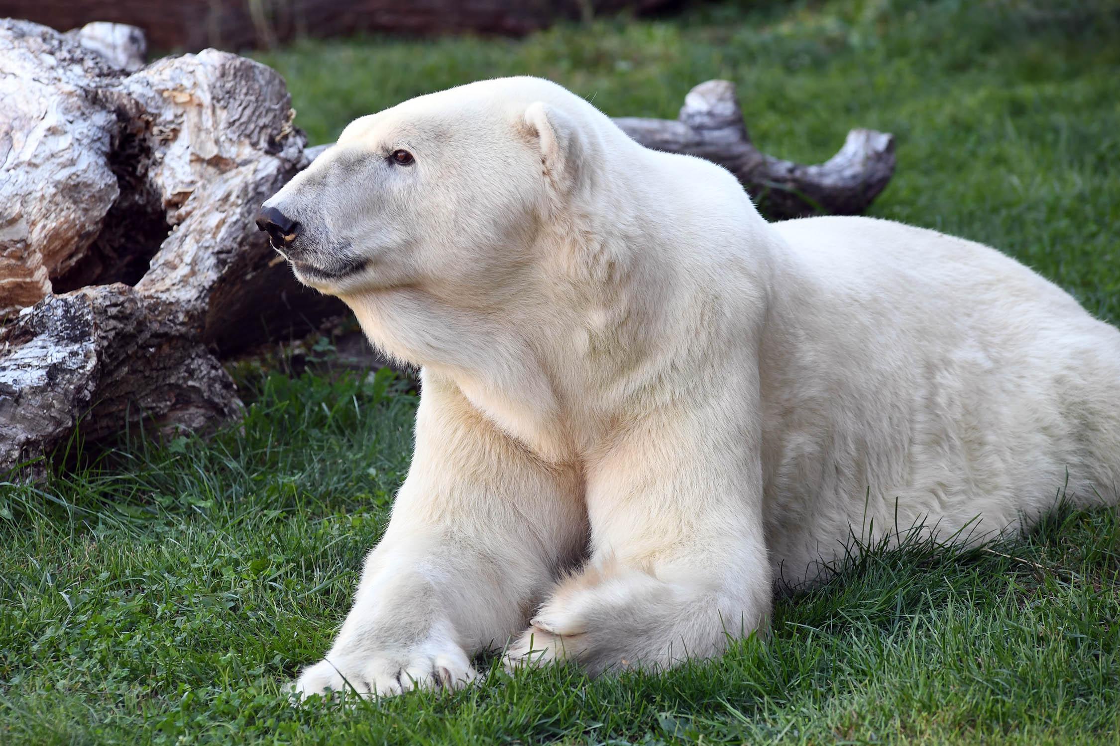 W Brookfield Zoo uśpiono najstarszego niedźwiedzia polarnego w Ameryce Północnej