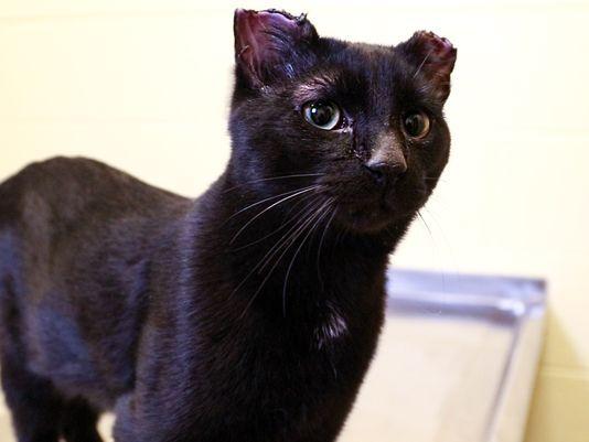 Kot z częściowo obciętymi uszami i ogonem. 5 tys. dolarów nagrody za pomoc w ujęciu sprawcy