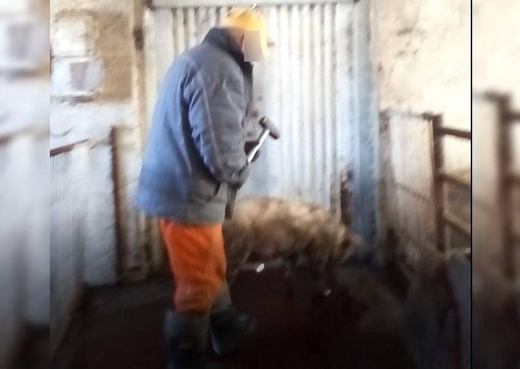 Horror na fermie w pow. szczecineckim: Dantejskie sceny uśmiercania świń przy użyciu młotka