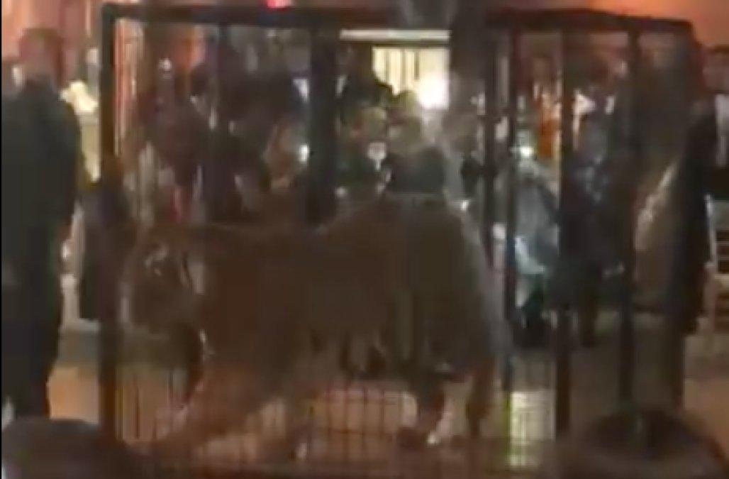 Tygrys na balu maturalnym w Miami. Wszczęto śledztwo (wideo)