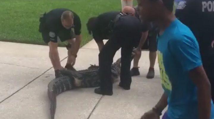 Aligator znokautował funkcjonariusza na Florydzie (wideo)