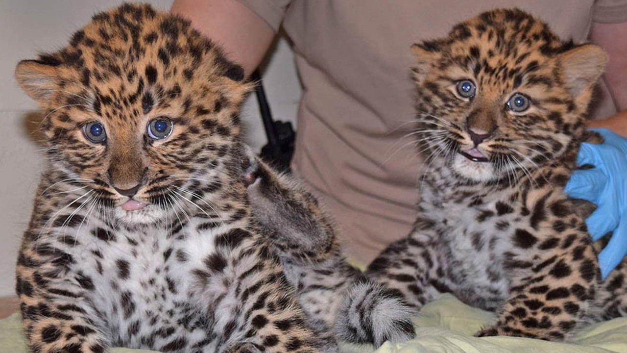 W Brookfield Zoo urodziły się dwa lamparty amurskie