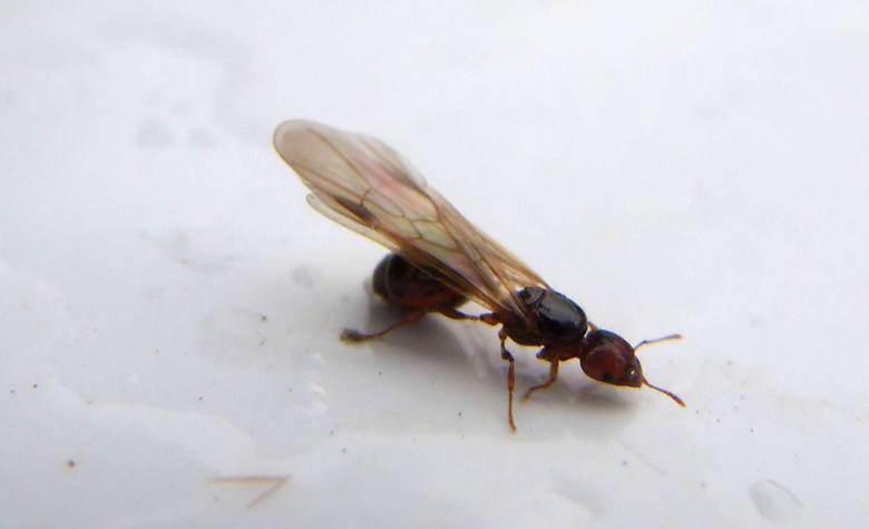 Latające mrówki w Poznaniu. Skąd się wzięły?