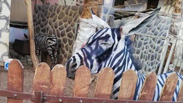Egipt: Zoo pomalowało osła w paski