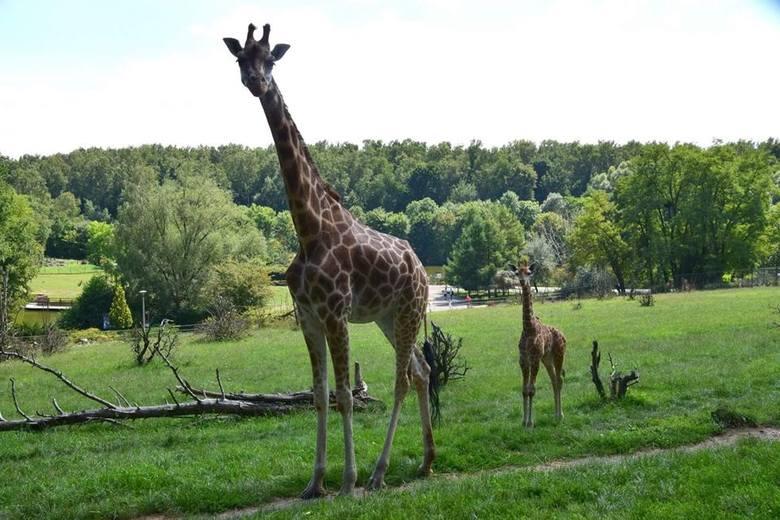 Żyrafa z poznańskiego ogrodu w ciężkim stanie. Wina zwiedzających?