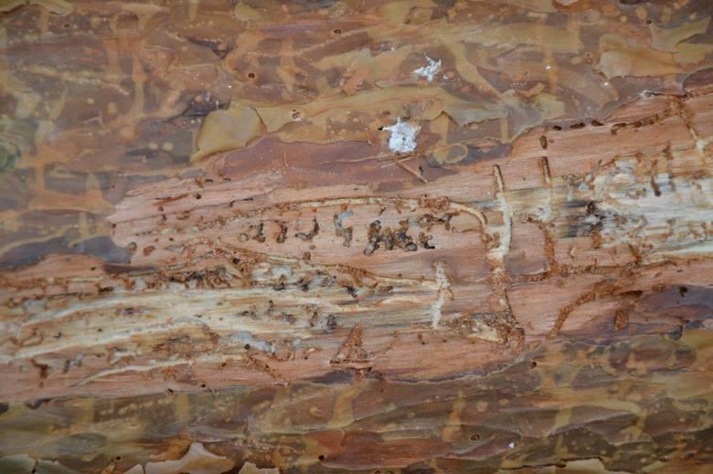Tysiące szkodników na jednej sośnie. Jeśli nie uda się opanować inwazji, polskim lasom grozi zagłada!