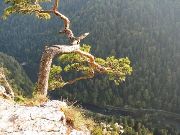 500-letnia, najsłynniejsza polska sosna została zniszczona