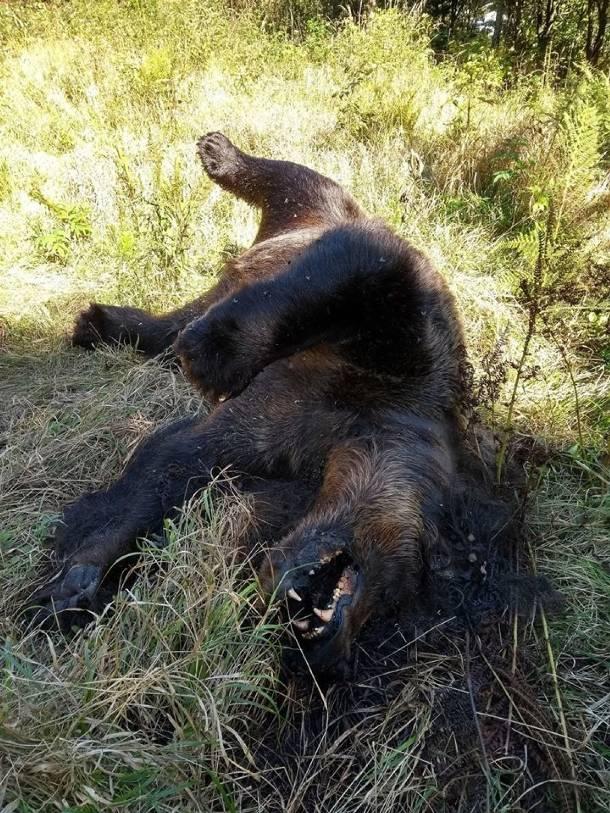 Tatry: Przy szlaku znaleziono martwego niedźwiedzia