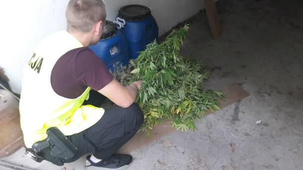 Łódzkie: 8 lat więzienia grozi rolnikowi, który sadził marihuanę między kukurydzą