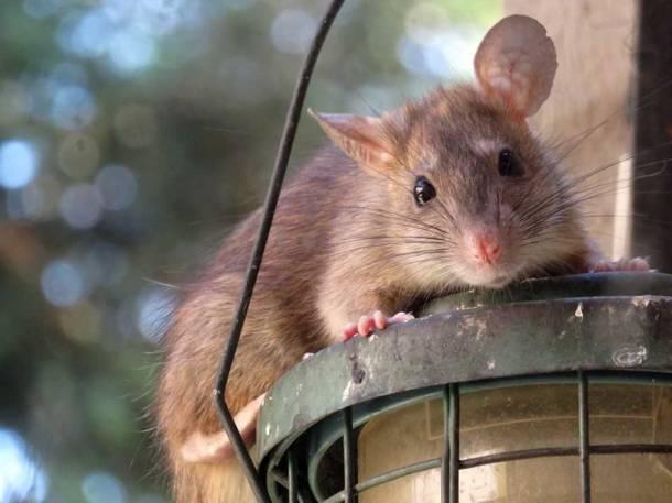 We Wrocławiu szczurów jest więcej niż mieszkańców. Prawdziwa plaga!
