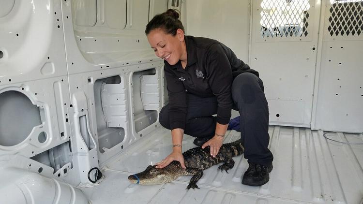 W jeziorze Michigan pływał…aligator