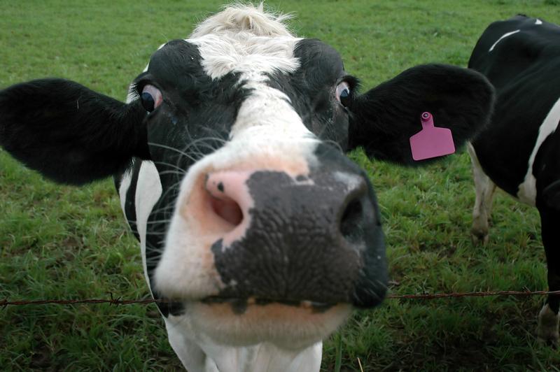 600 zł na krowę. Rząd przyjął projekt dotyczący wsparcia hodowców bydła i świń