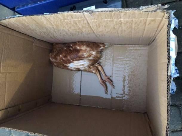 Dolny Śląsk: Wysłali kury… pocztą, zapakowane w kartony. 30 zwierząt nie przeżyło