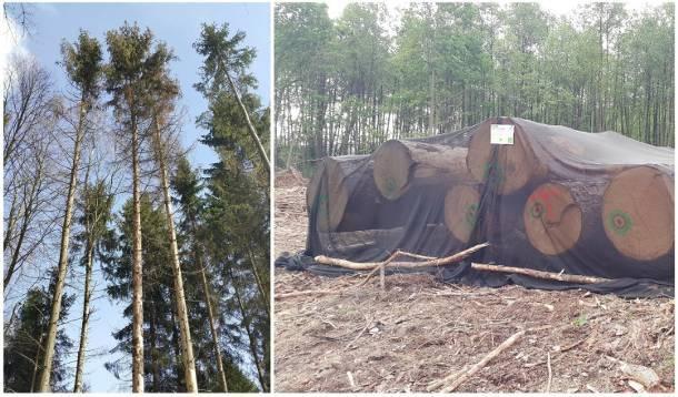 Lubuskie: Tną drzewa na potęgę! Czy lasy w okolicy Łagowa są zagrożone?