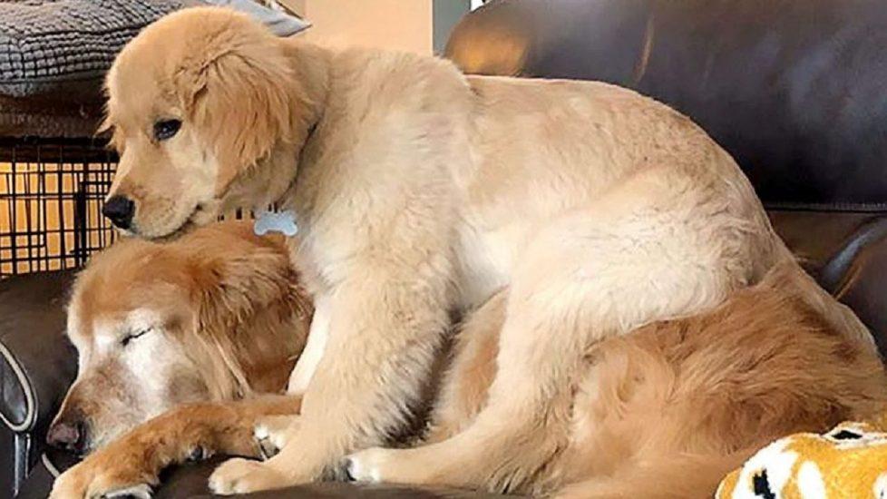 Wzruszająca historia na czterech łapach. Młodszy pies pomaga swojemu starszemu niewidomemu przyjacielowi